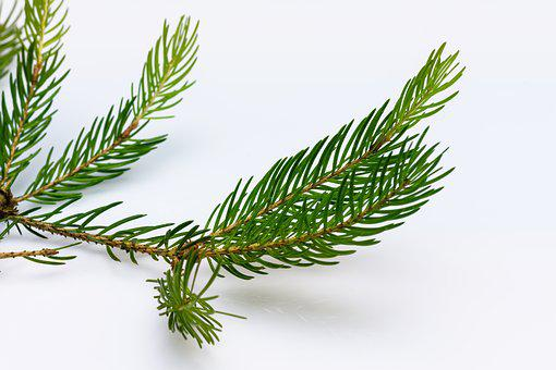 Spruce, Branch, Conifer, Tree, Nature, Green