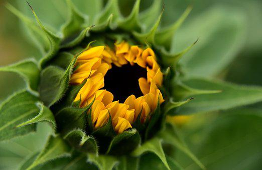 Sunflower, Bud, Blossom, Bloom, Yellow, Nature, Flower