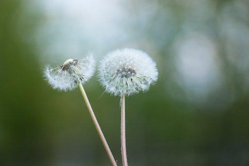 Dandelion, Flower, Nature, Plant, Close Up
