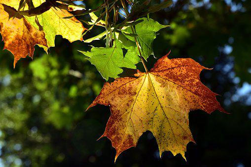 Leaf, Autumn, Color, Autumn Colours, Maple Leaf