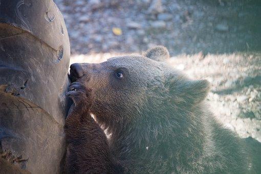Bear, Little Bear, Animal, Wild Animal, Zoo, Cute