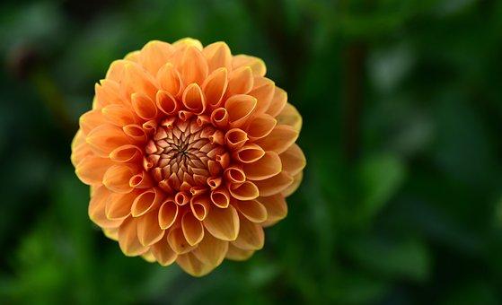 Dahlia, Orange, Blossom, Bloom, Flower, Dahlia Garden