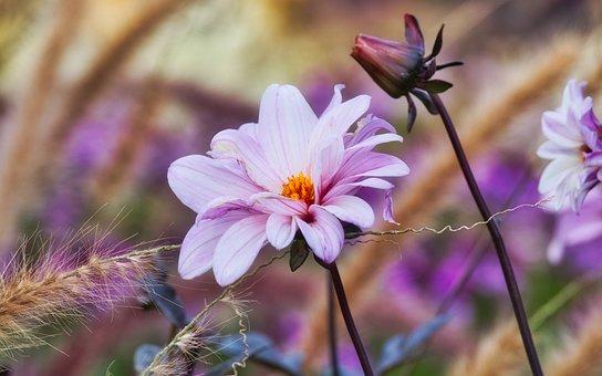 Dahlia, Blossom, Bloom, Autumn, Grasses, Dahlia Garden