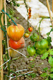 Allotment, Tomatoes, Development, Red, Growth, Mature