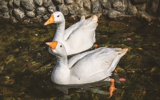 Animal, Animal Photography, Duck, Ducks, Bird, Two