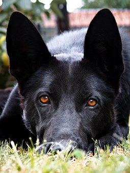 Black, German Shepherd, Eyes, Ears, Cute, Dog