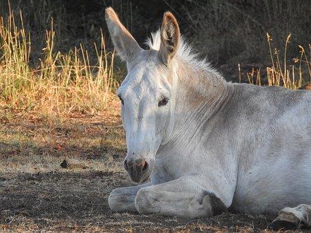 Donkey, Ass, White, Equine, Mammal, Pasture, Equines