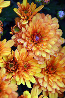 Autumn, Fall Flowers, Chrysanthemum