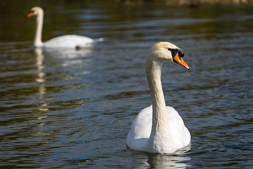 Animal, Bird, Swan, Animal World, Feather, Close Up