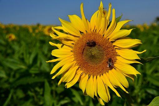 Sunflower, Field, Sunflower Field, Bees, Yellow