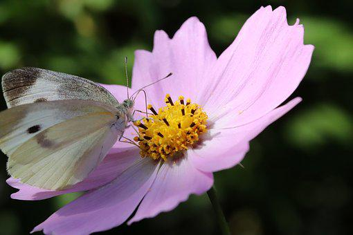 Butterfly, Cosmos, Flowers, Insects, Nature, Plants