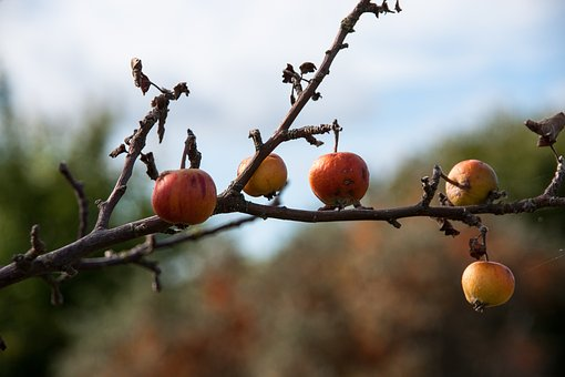 Apple, Autumn, Fruit, Nature, Harvest, Orchard