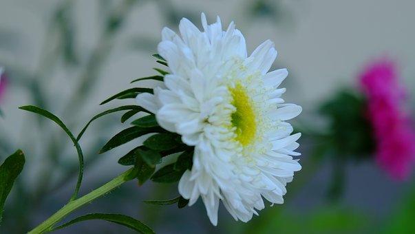 Flower, White, Garden, Flowers, Nature, Plant, Spring