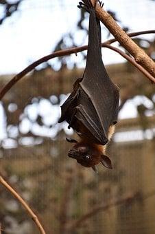 Bat, Giant, Night, Animal, Mammals, Frugivore, Nature