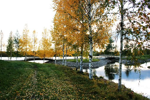 Autumn, Birch Trees, Bridge, Tree, Nature, Grass