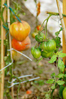 Allotment, Tomatoes, Growth, Development, Green, Red