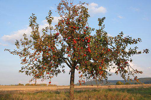 Apple Tree, Apple, Autumn, Fruit, Nature, Healthy