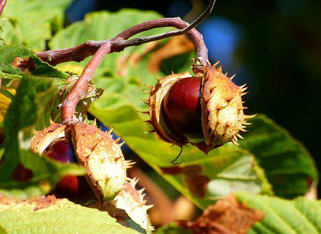 Fall, Brown, Nature, Horse Chestnut, Fruit, Leaves