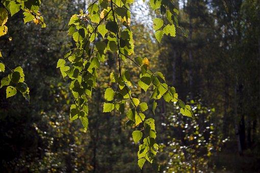 Birch, Foliage, Autumn, Landscape, Trees, Nature
