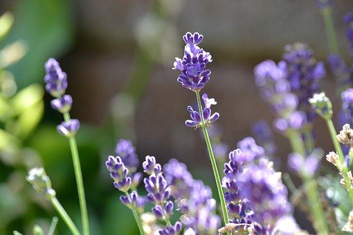 Lavender, Flower, Summer, Autumn, Sun, Violet, Flowers