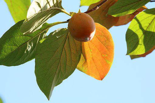 Persimmon, Fruit, Autumn, Nature, Results, Leaves, Wood