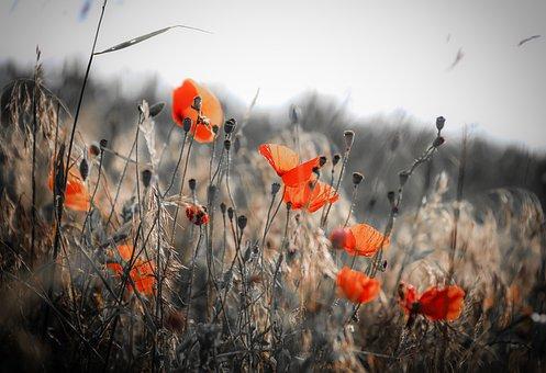 Poppy, Wildflower, Flower, Field, Meadow, Red Flower
