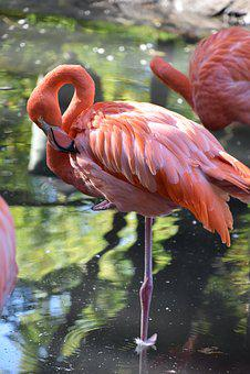 Bird, Pink Flamingo, Nature, Zoo, Pen, Plumage, Beak