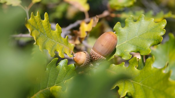 Oak, Acorn, Forest, Foliage, Green, Nature, Leaves