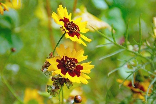 Flower, Yellow, Aster, Rosilla, Bloom, Petals, Sunny