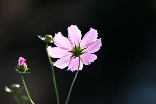 Cosmos, Autumn, Flowers, Nature, Plants, Pink
