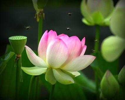 Green, Bees, Lotus Flower, Nature, Natural, Pink