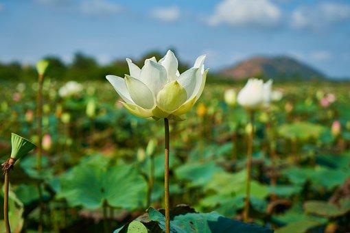 Lotus, Flower, Nature, Plant, Beautiful, Flowers