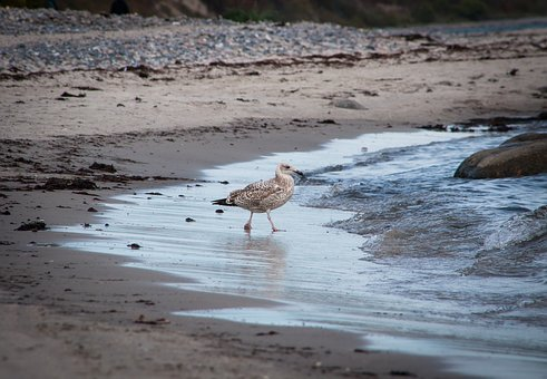 Seagull, Albatross, Sand, Beach, Sea, Baltic Sea