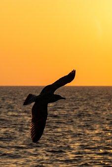 Seagull, Backlighting, Shadow, Profile, Sunset