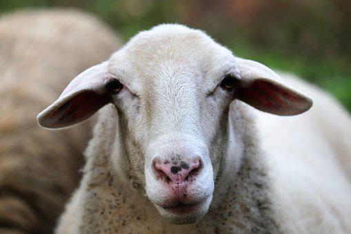 Sheep, Animal, White, Head, Curious, Farming, Nature