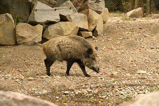 Boar, Zoo, Pig, Nature, Animal, Sow, Wildlife Park