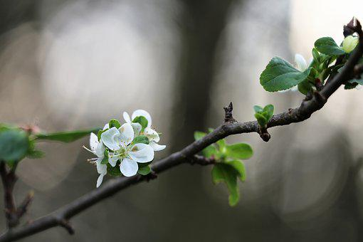 Plum Flower, Blooming In October, Autumn, White, Tree