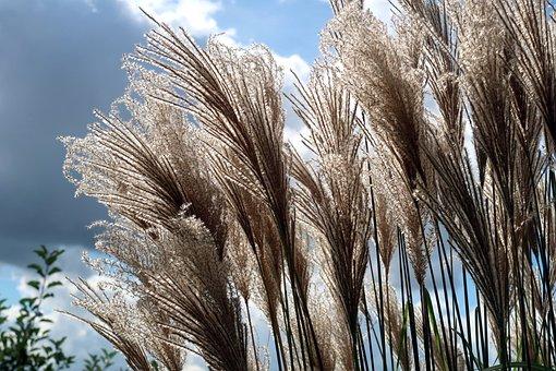 Reed, Phragmites, Type Of Grass, Rietplant