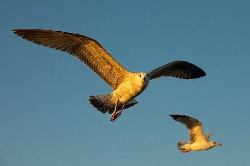 Seagull, Gulls, Flight, Wing, Feather, Plumage, Gull