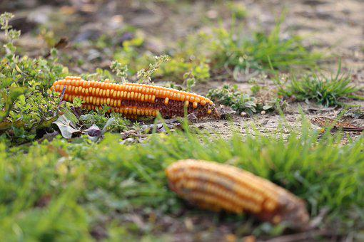 Corn Cobs, After Harvest, Ground, Yellow, Corn, Food