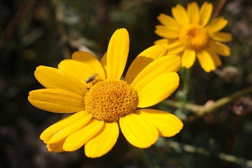 Flower, Yellow, Sun, Nature