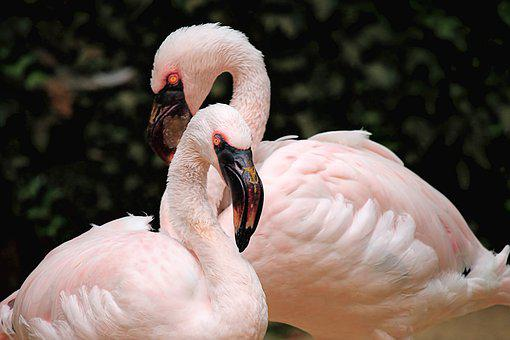 Flamingos, Birds, Pink, Nature, Exotic, Zoo