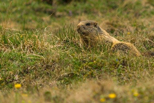 Marmot, Alpine, Animal, Nature, Rodent, Alpine Marmot