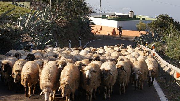 Sheep, Road, Gran Canaria, Spain, Animal, Wool