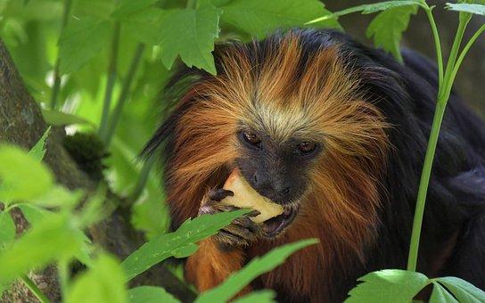 Monkey, Tamarind, Primate, Eat, Apple, Tree, Green