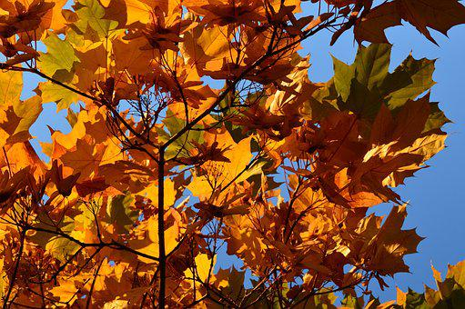 Autumn, Tints, Crown, Leaves, Maple, Sky, Blue, Light