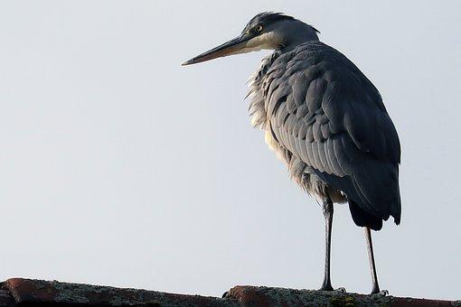 Bird, Heron, Grey Heron, Roof Ridge, Animal World