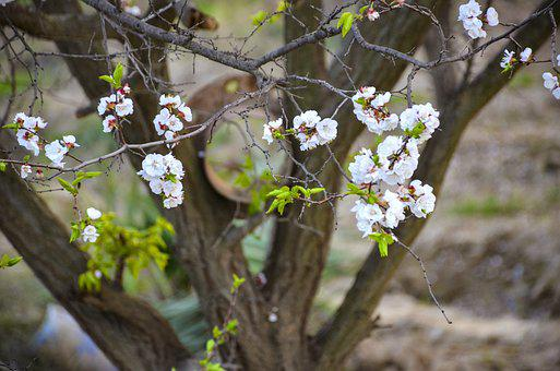 Apple, Flower, Apple Tree, Bloom, Spring, Blossom