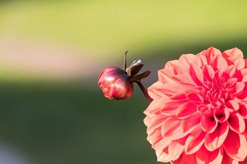 Dahlia, Bud, Blossom, Bloom, Plant, Ornamental Flower