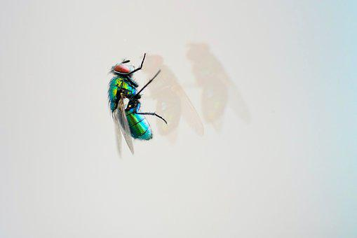 Macro, Close Up, Fly, Bluebottle, Animal World, Glass